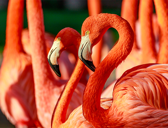 Up-close with Flamingos and more than 3,500 rare and endangered animals at the San Diego Zoo