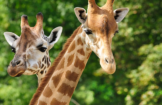 Close up of giraffes
