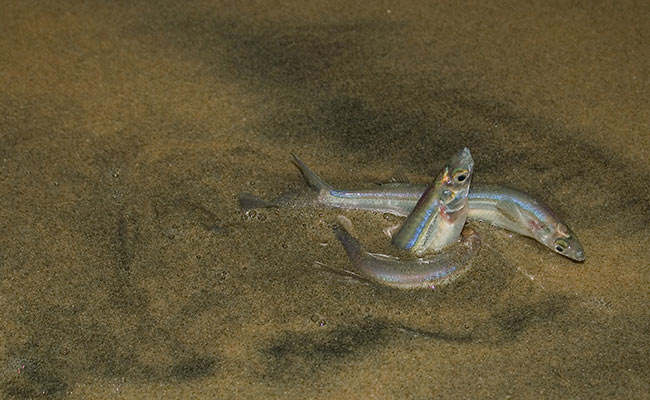 Summer bucket list: Grunion run California